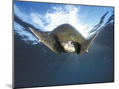 Green Turtle Swimming, Sulu-Sulawesi Seas, Indo Pacific Ocean-Jurgen Freund-Mounted Photographic Print