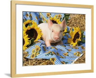 Domestic Piglet and Sunflowers, USA-Lynn M^ Stone-Framed Photographic Print