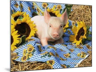 Domestic Piglet and Sunflowers, USA-Lynn M^ Stone-Mounted Photographic Print