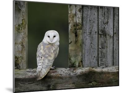 Barn Owl, in Old Farm Building Window, Scotland, UK Cairngorms National Park-Pete Cairns-Mounted Photographic Print