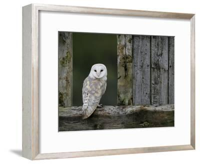 Barn Owl, in Old Farm Building Window, Scotland, UK Cairngorms National Park-Pete Cairns-Framed Photographic Print
