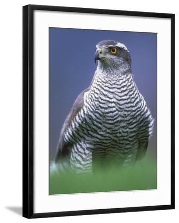 Northern Goshawk, Male Close-Up, Scotland-Pete Cairns-Framed Photographic Print