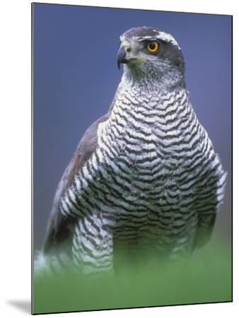 Northern Goshawk, Male Close-Up, Scotland-Pete Cairns-Mounted Photographic Print