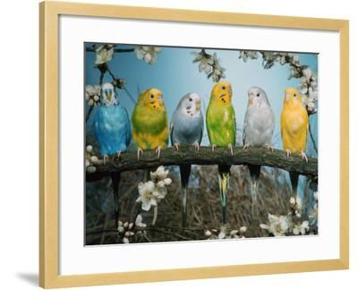 Six Budgerigars (Melopsittacus Undulatus)-Reinhard-Framed Photographic Print