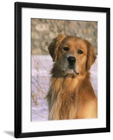 Golden Retriever in Snow (Canis Familiaris) Illinois, USA-Lynn M^ Stone-Framed Photographic Print
