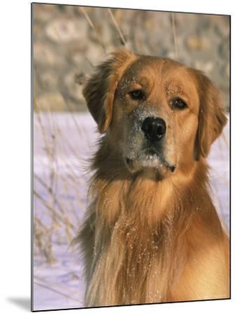 Golden Retriever in Snow (Canis Familiaris) Illinois, USA-Lynn M^ Stone-Mounted Photographic Print