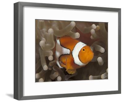 False Clown Anemonefish, in Anemone, Indo-Pacific-Jurgen Freund-Framed Photographic Print