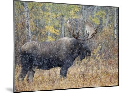 Moose Bull in Snow Storm with Aspen Trees in Background, Grand Teton National Park, Wyoming, USA-Rolf Nussbaumer-Mounted Photographic Print