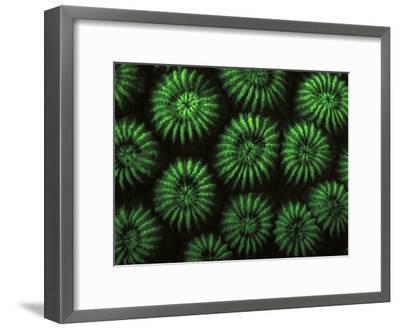 Hard Corals, Fluorescent Under Uv Light, Papua New Guinea-Jurgen Freund-Framed Photographic Print