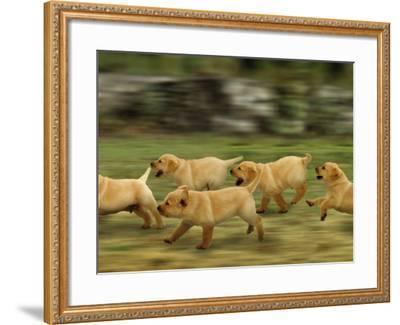Domestic Dogs, Labrador Puppies Running-Jane Burton-Framed Photographic Print