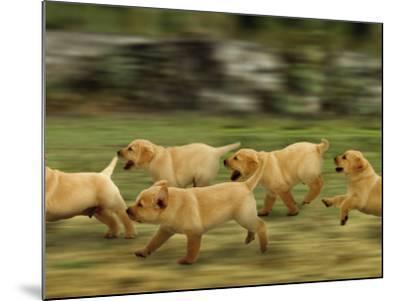 Domestic Dogs, Labrador Puppies Running-Jane Burton-Mounted Photographic Print