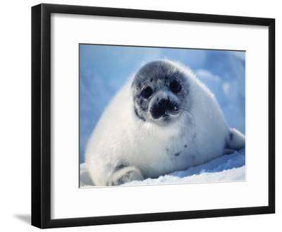 Harp Seal Pup on Ice at Start of Moult, Magdalen Is, Canada, Atlantic-Jurgen Freund-Framed Photographic Print