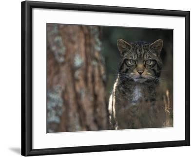 Wild Cat in Pine Forest, Cairngorms National Park, Scotland, UK-Pete Cairns-Framed Photographic Print