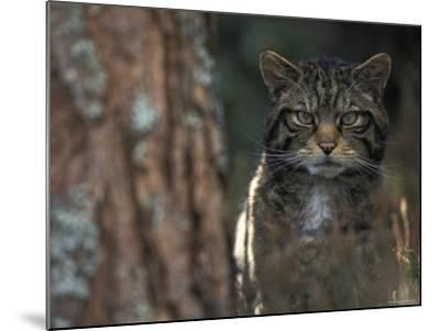 Wild Cat in Pine Forest, Cairngorms National Park, Scotland, UK-Pete Cairns-Mounted Photographic Print