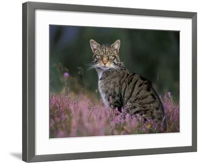 Wild Cat Portrait Amongst Heather, Cairngorms National Park, Scotland, UK-Pete Cairns-Framed Photographic Print