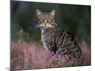 Wild Cat Portrait Amongst Heather, Cairngorms National Park, Scotland, UK-Pete Cairns-Mounted Photographic Print