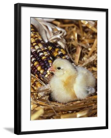 Domestic Chicken Chick-Lynn M^ Stone-Framed Photographic Print