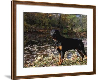 Rottweiler Dog, Illinois, USA-Lynn M^ Stone-Framed Photographic Print