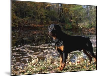 Rottweiler Dog, Illinois, USA-Lynn M^ Stone-Mounted Photographic Print