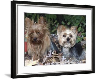 Yorkshire Terrier Dogs, One Clipped, Illinois, USA-Lynn M^ Stone-Framed Photographic Print