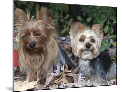 Yorkshire Terrier Dogs, One Clipped, Illinois, USA-Lynn M^ Stone-Mounted Photographic Print