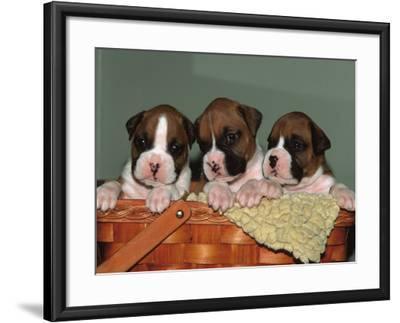 Three Boxer Puppies, USA-Lynn M^ Stone-Framed Photographic Print