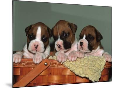 Three Boxer Puppies, USA-Lynn M^ Stone-Mounted Photographic Print