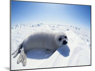 Harp Seal Pup on Ice, Magdalen Is, Canada, Atlantic-Jurgen Freund-Mounted Photographic Print