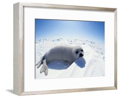 Harp Seal Pup on Ice, Magdalen Is, Canada, Atlantic-Jurgen Freund-Framed Photographic Print