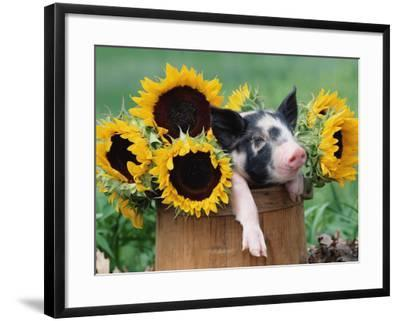Mixed-Breed Piglet in Basket with Sunflowers, USA-Lynn M^ Stone-Framed Photographic Print