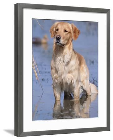 Golden Retriever in Water, USA, North America-Lynn M^ Stone-Framed Photographic Print