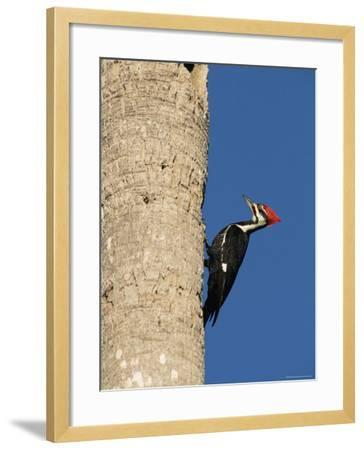 Pileated Woodpecker, Female at Nest Hole in Palm Tree, Fl, USA-Rolf Nussbaumer-Framed Photographic Print