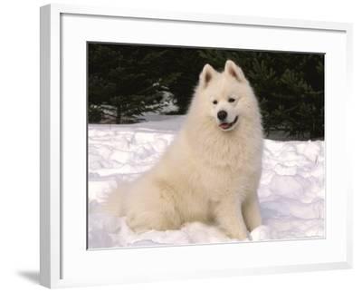 Samoyed Dog in Snow, USA-Lynn M^ Stone-Framed Photographic Print