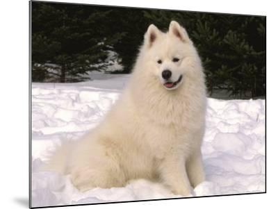 Samoyed Dog in Snow, USA-Lynn M^ Stone-Mounted Photographic Print