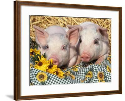 Two Domestic Piglets, Mixed-Breed-Lynn M^ Stone-Framed Photographic Print