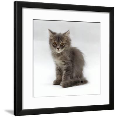 Domestic Cat, 10-Week, Grey Tabby Persian-Cross Kitten-Jane Burton-Framed Photographic Print