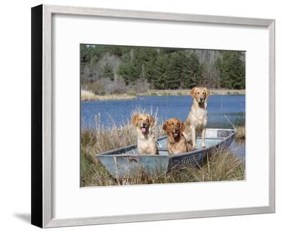 Golden Retrievers in Boat, USA-Lynn M^ Stone-Framed Photographic Print