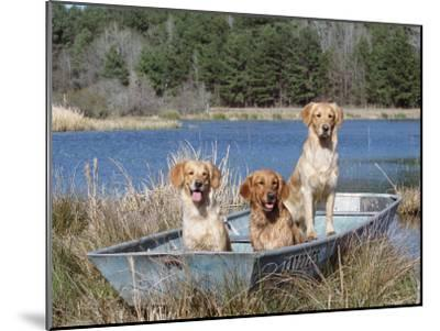 Golden Retrievers in Boat, USA-Lynn M^ Stone-Mounted Photographic Print