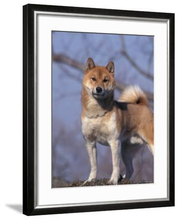 Shiba Inu Portrait-Adriano Bacchella-Framed Photographic Print