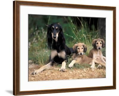 Saluki with Two Puppies-Adriano Bacchella-Framed Photographic Print