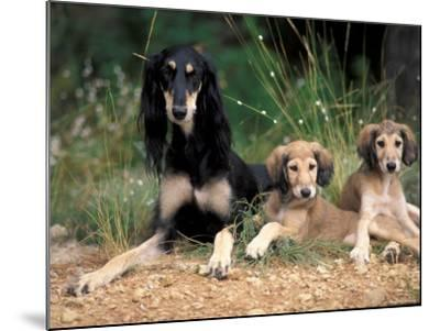 Saluki with Two Puppies-Adriano Bacchella-Mounted Photographic Print