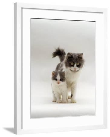 Domestic Cat, Blue Bicolour Persian-Cross Mother with Kitten-Jane Burton-Framed Photographic Print
