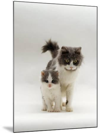 Domestic Cat, Blue Bicolour Persian-Cross Mother with Kitten-Jane Burton-Mounted Photographic Print
