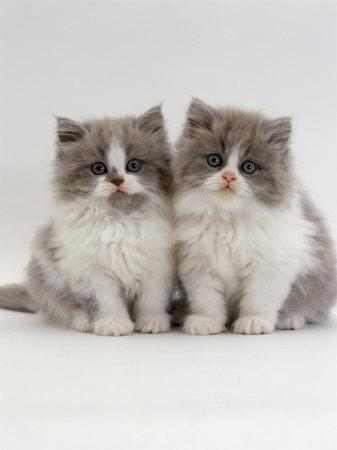 Domestic Cat, 9-Week, Two Persian Cross Lilac Bicolour Kittens-Jane Burton-Framed Photographic Print