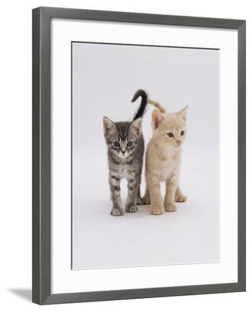 Domestic Cat (Felis Catus) 8-Week-Old Kittens-Jane Burton-Framed Photographic Print