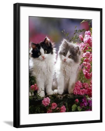 Domestic Cat, Black and Blue Bicolour Persian-Cross Kittens Among Pink Climbing Roses-Jane Burton-Framed Photographic Print