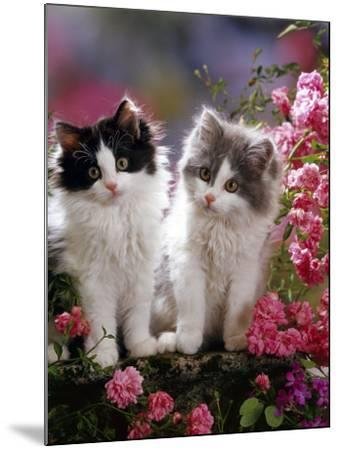 Domestic Cat, Black and Blue Bicolour Persian-Cross Kittens Among Pink Climbing Roses-Jane Burton-Mounted Photographic Print