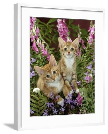 Domestic Cat, 10-Week, Red Male and Ginger Female Spotted Tabbies Among Foxgloves and Bellflowers-Jane Burton-Framed Photographic Print