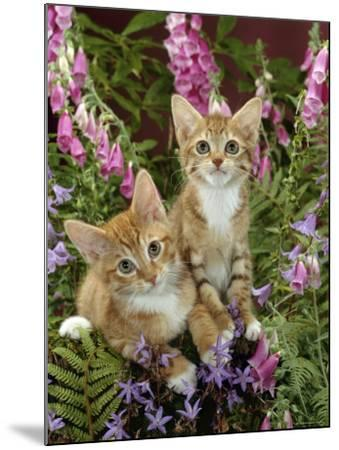 Domestic Cat, 10-Week, Red Male and Ginger Female Spotted Tabbies Among Foxgloves and Bellflowers-Jane Burton-Mounted Photographic Print