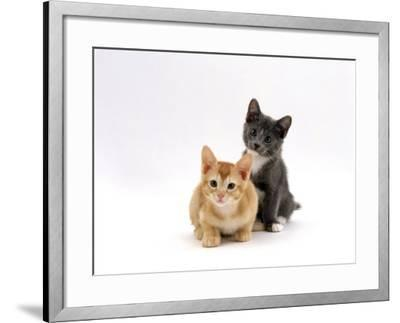 Domestic Cat, 9-Week, Red and Blue Kittens-Jane Burton-Framed Photographic Print